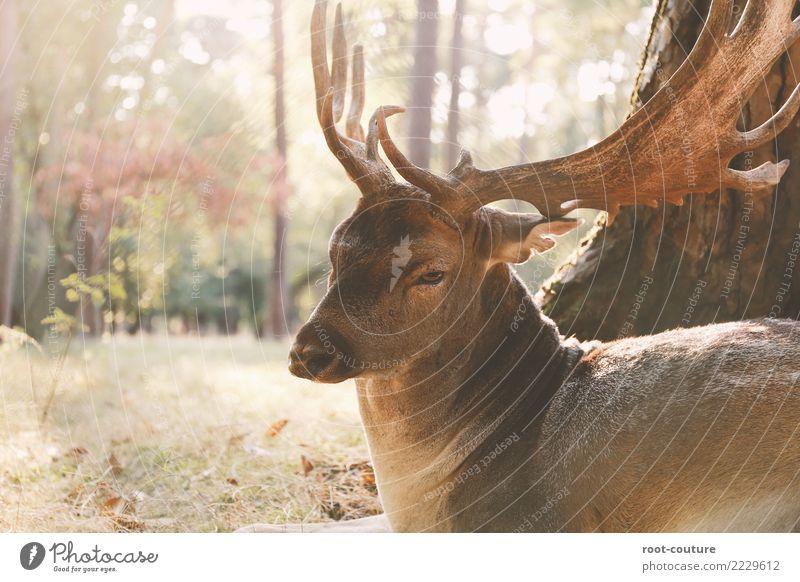 Oh my deer Natur Ferien & Urlaub & Reisen Pflanze Sommer schön Erholung Tier ruhig Wald Herbst Zufriedenheit Park elegant Wildtier Kraft sitzen