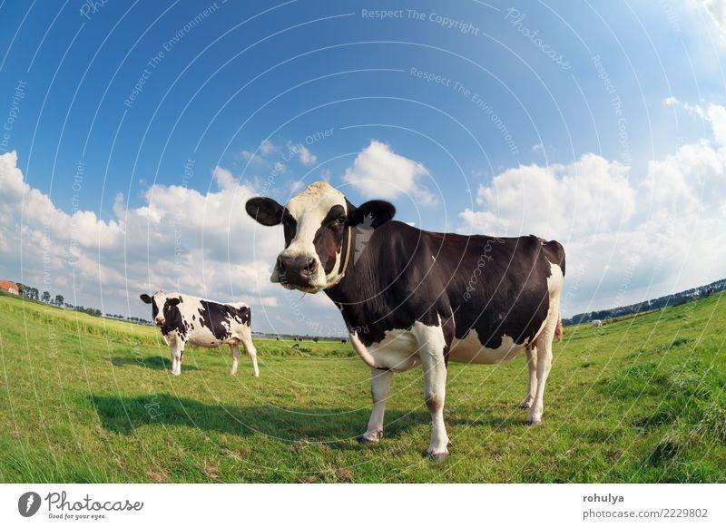 zwei Kühe auf der grünen Weide am sonnigen Tag Sommer Natur Landschaft Himmel Wolken Schönes Wetter Gras Wiese Nutztier Kuh hell niedlich blau Rind Fischauge