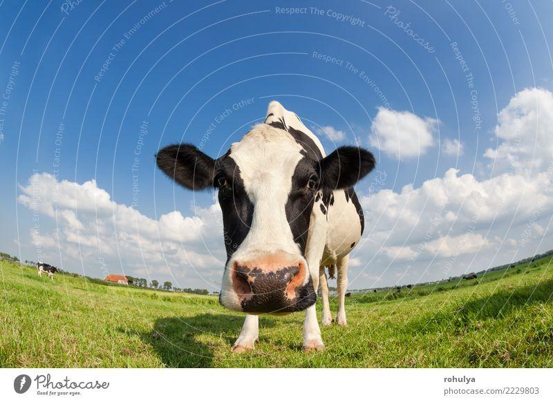 lustiger Abschluss herauf Kuh auf Weide des grünen Grases draußen Himmel Natur blau Sommer Landschaft Tier Wolken Wiese Aussicht Schönes Wetter Jahreszeiten