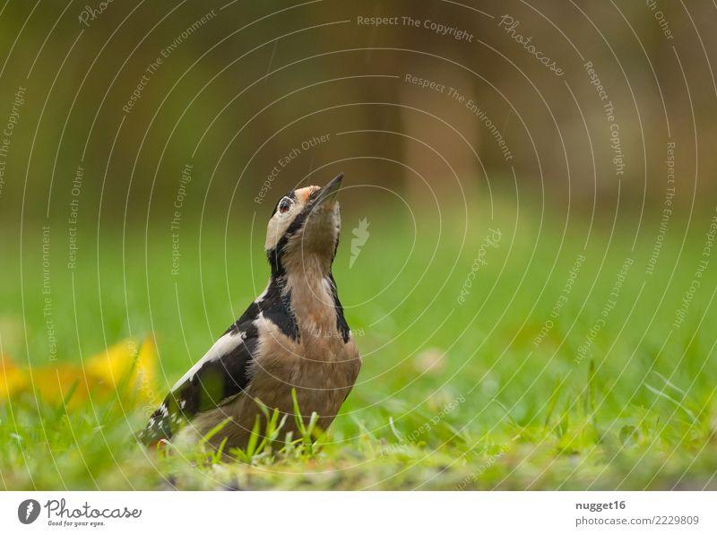 Buntspecht Umwelt Natur Tier Frühling Sommer Herbst Schönes Wetter Pflanze Gras Garten Park Wiese Wald Wildtier Vogel Tiergesicht Flügel 1 ästhetisch