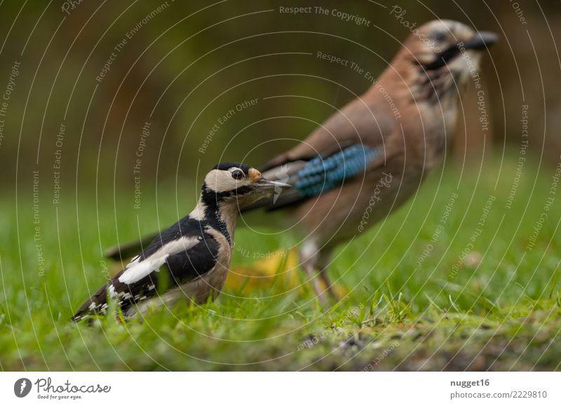 Buntspecht und Eichelhäher Umwelt Natur Tier Frühling Sommer Herbst Schönes Wetter Pflanze Gras Garten Park Wiese Wald Wildtier Vogel Tiergesicht Flügel 2