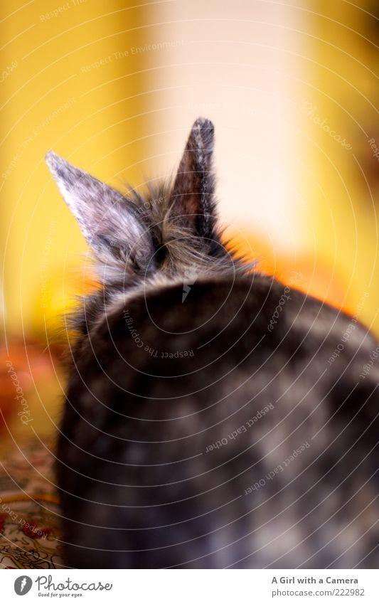 Introducing Cooper Haustier Nagetiere 1 Tier liegen warten braun mehrfarbig gelb schwarz schön Ohr hören Fell scheckig Hase & Kaninchen Farbfoto Innenaufnahme