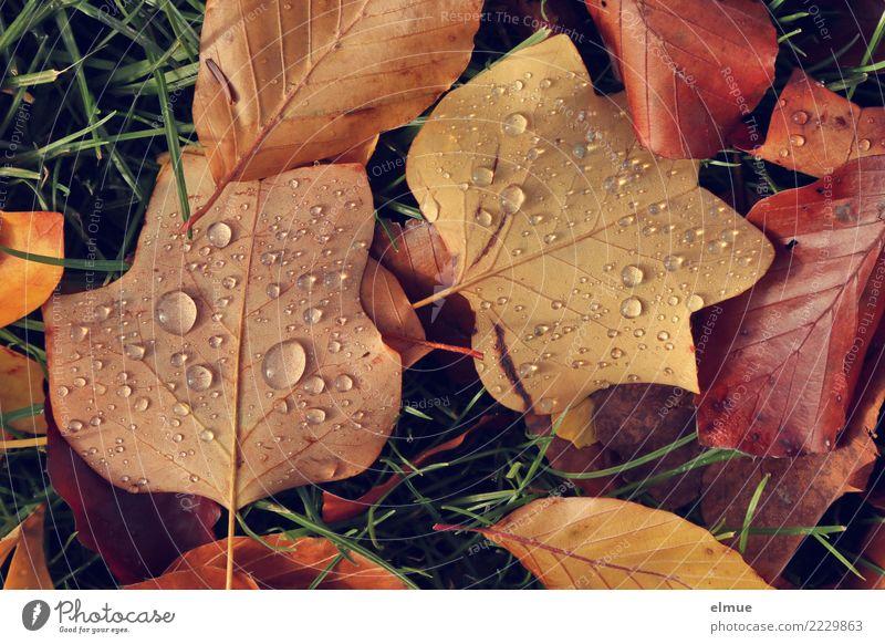 Herbstperlen Umwelt Natur Wassertropfen Gras Blatt Herbstlaub Herbstfärbung nass welk Park Perle liegen nah braun Gelassenheit Traurigkeit Trauer Zukunftsangst