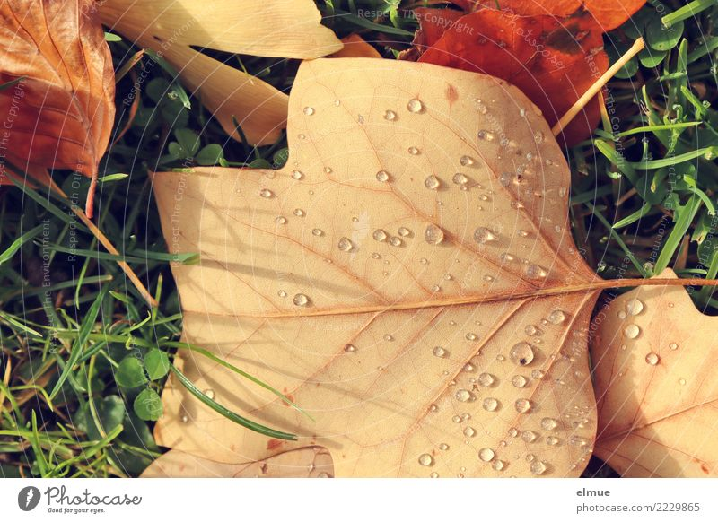 Herbst, geperlt Umwelt Natur Wassertropfen Schönes Wetter Gras Blatt Herbstlaub nass Perle perlen Park liegen ästhetisch hell Vorfreude Warmherzigkeit Romantik
