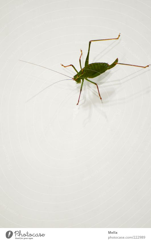 Entschuldigung, ich bin grad auf dem Sprung Natur weiß grün Tier Umwelt Beine sitzen Insekt Fühler hocken Heuschrecke Heimchen Sprungbein