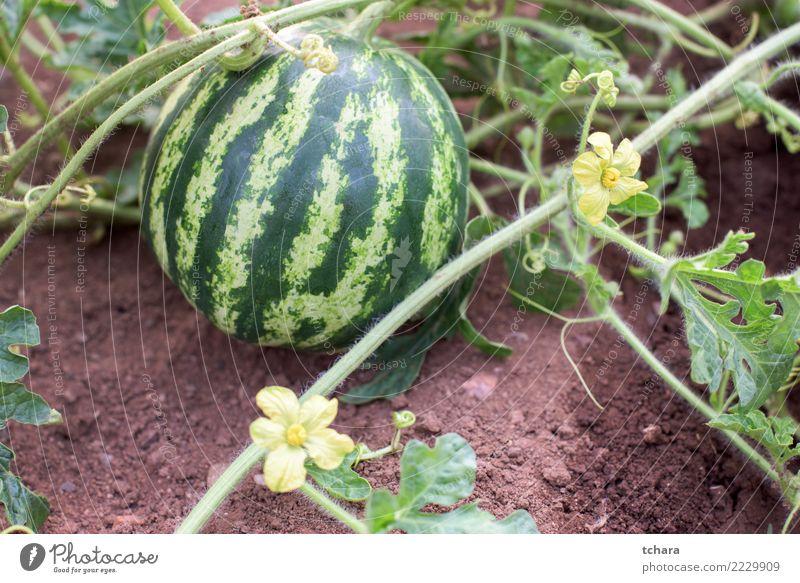 Wassermelonenpflanze Gemüse Frucht Dessert Essen Vegetarische Ernährung Lifestyle Sommer Garten Gartenarbeit Natur Pflanze Blatt Blüte Wachstum frisch natürlich