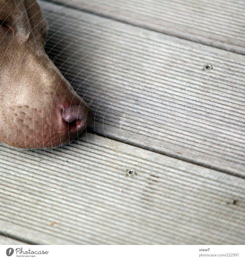 spürnase ruhig Tier Leben kalt Holz grau Hund träumen Denken Linie warten Nase schlafen ästhetisch liegen authentisch