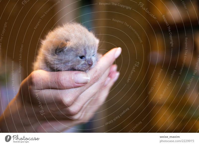 Kitz-farbiges britisches Kätzchen in der Hand der Männer, kleines Kätzchen Katze Kind Mensch Natur schön Tier Tierjunges Leben Liebe Glück gold Baby niedlich