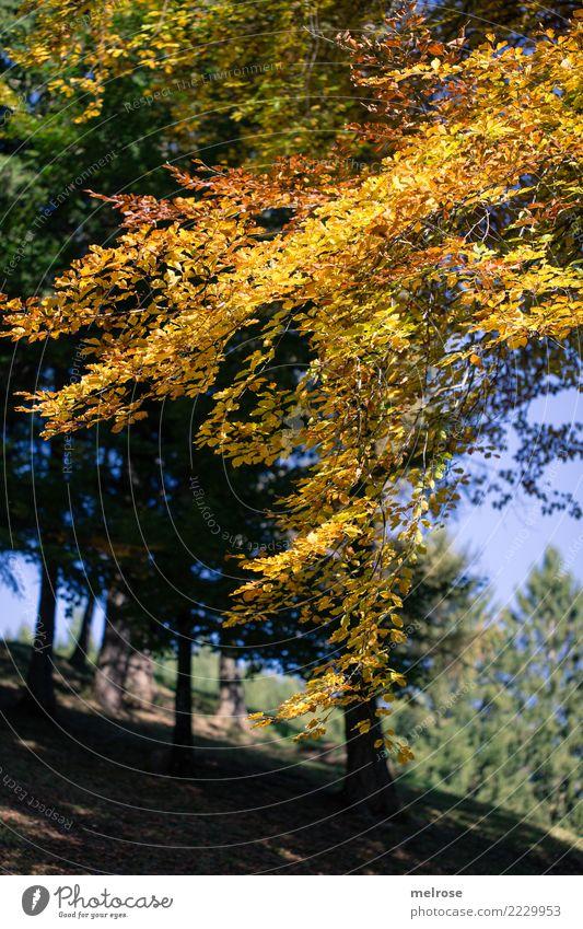Goldner Herbst Ausflug wandern Natur Landschaft Erde Himmel Sonnenlicht Schönes Wetter Baum Blätter Waldboden Farbe leuchtende Farben herbstlich Lichteinfall