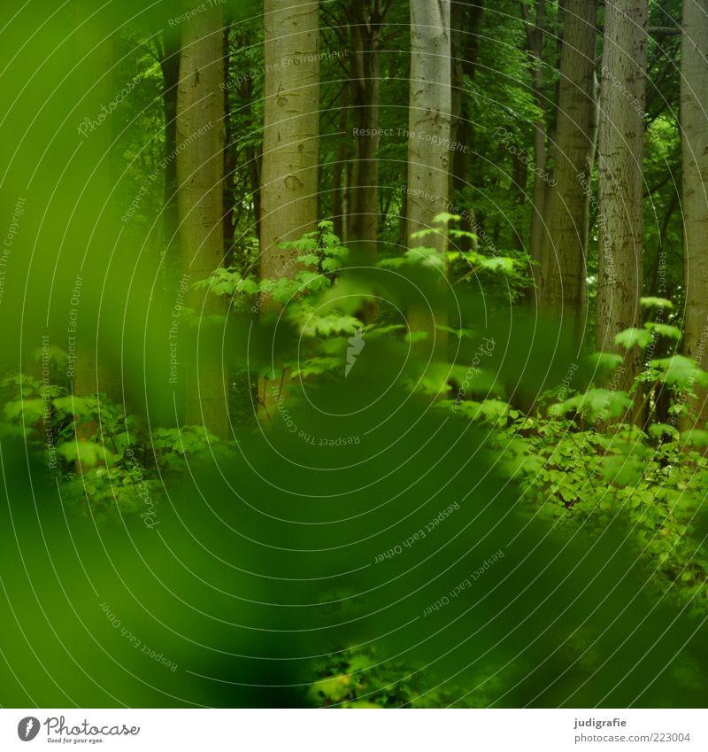 Wald Umwelt Natur Pflanze Baum Wachstum natürlich grün Buchenwald Baumstamm Blattgrün Farbfoto Außenaufnahme Menschenleer Tag Unschärfe verdeckt