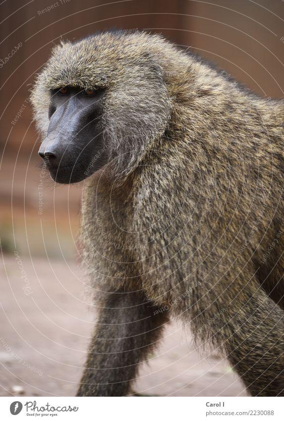 Der Pavian Natur Ferien & Urlaub & Reisen Sommer Sonne Tier Gesicht Umwelt Tourismus braun Ausflug maskulin Wildtier ästhetisch Abenteuer groß bedrohlich
