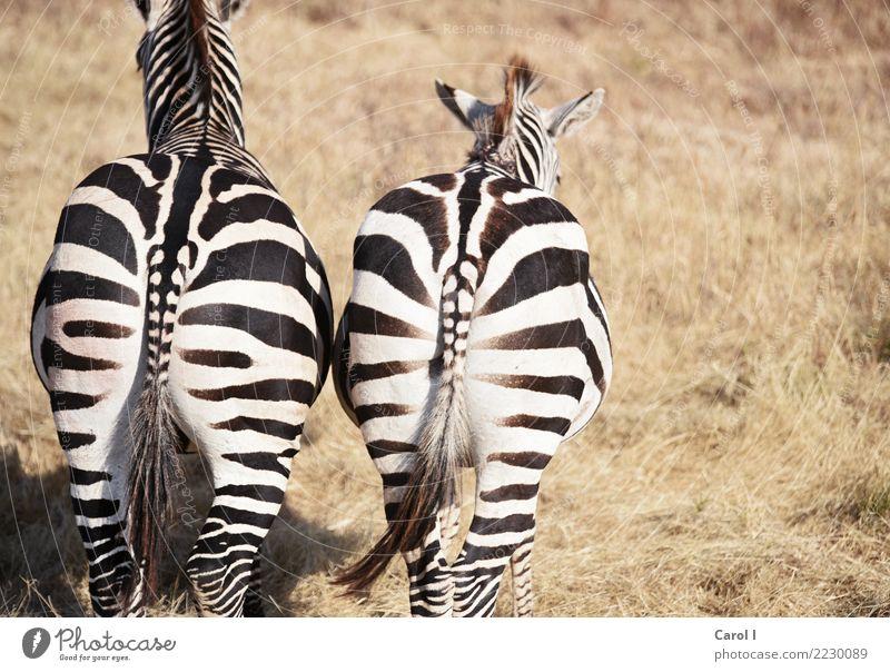 Nette Aussichten Ferien & Urlaub & Reisen Ausflug Abenteuer Freiheit Safari Sommerurlaub Natur Landschaft Tier Wildtier Fell Zebra 2 Tierpaar Fährte beobachten