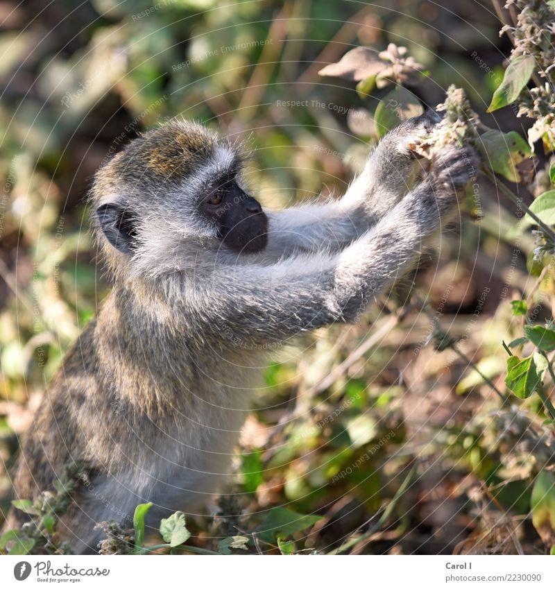 Einmal zum Mitnehmen, bitte Ferien & Urlaub & Reisen Tourismus Ausflug Ferne Safari Baby Natur Wald Urwald Wildtier Tiergesicht Fell Affen 1 Tierjunges Essen