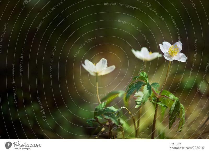 frühe Blüte Natur schön Blume Pflanze Blatt Blüte Frühling einfach natürlich Blühend Vorfreude Frühlingsgefühle Wildpflanze Frühlingsblume Frühblüher Frühlingstag