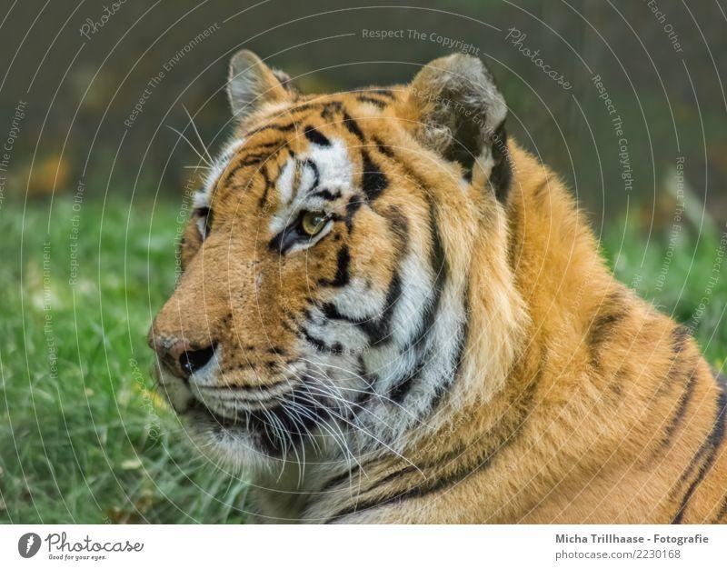 Sibirischer Tiger Porträt Natur Pflanze grün weiß Sonne Tier schwarz Umwelt Auge Wiese Gras orange wild liegen Wildtier Kraft