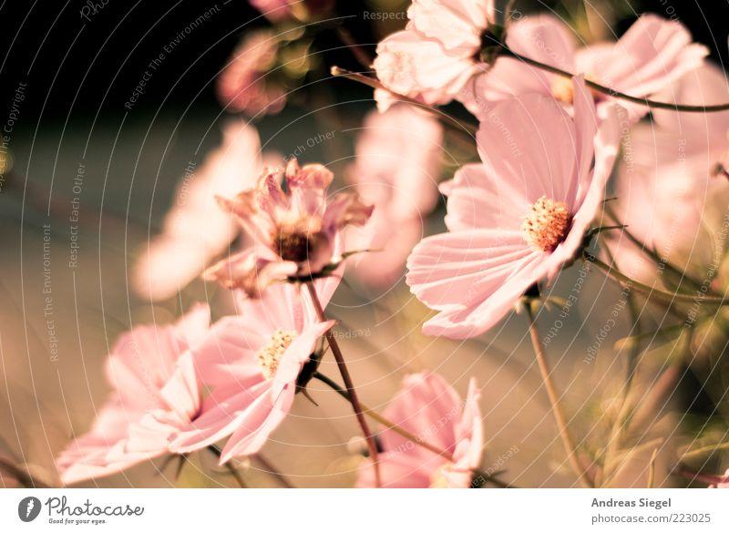 Rückblende Natur schön Pflanze Blume Herbst Umwelt Blüte hell rosa frisch ästhetisch Wandel & Veränderung Vergänglichkeit Kitsch trocken Blühend