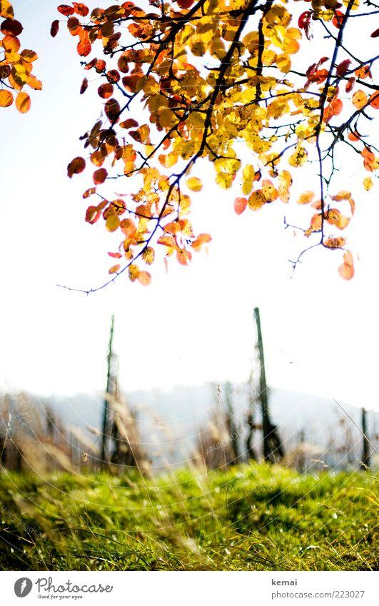 Leuchtender Blättergruß Natur grün Pflanze Blatt gelb Wiese Herbst Gras Landschaft Umwelt hell Feld Wachstum Wein leuchten Schönes Wetter