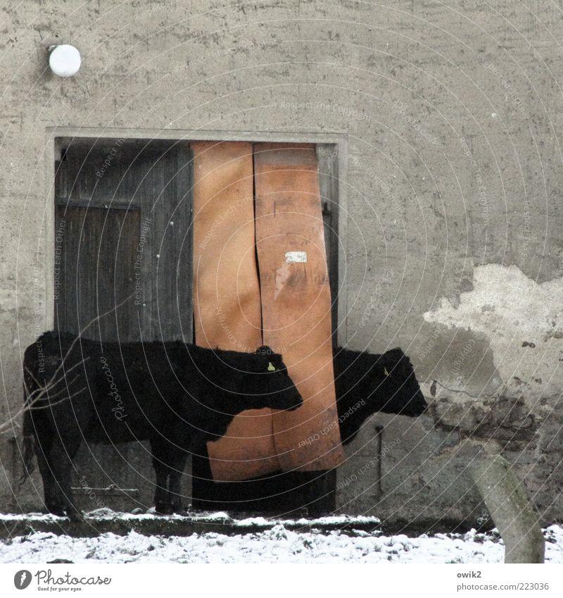 Pole-Position Winter Tier schwarz ruhig Leben Schnee Wand grau Mauer Lampe Tür Zusammensein Zufriedenheit Fassade warten Tierpaar
