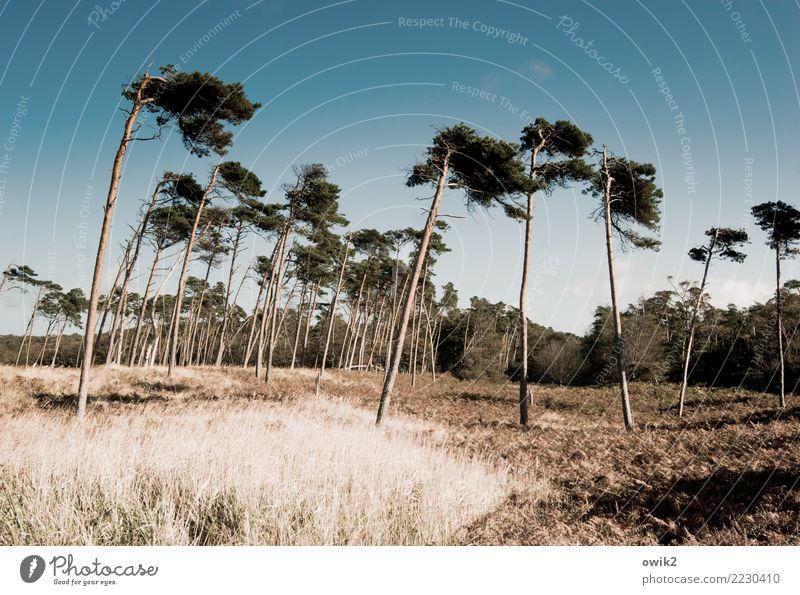 Zahnstocher Umwelt Natur Landschaft Pflanze Schönes Wetter Baum Gras Sträucher Ostsee Weststrand Bewegung stehen dünn frei Zusammensein groß hoch natürlich