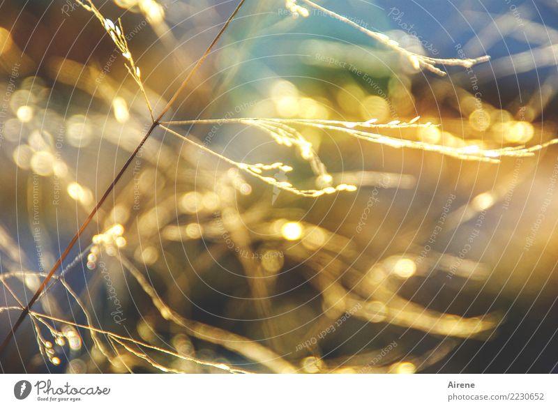 Goldregen Natur Pflanze Sonne Sonnenlicht Schönes Wetter Gras Halm Getreide Wiese glänzend leuchten hell positiv gelb gold orange Glück Euphorie nachhaltig