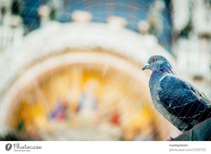Taube am Markusplatz Ferien & Urlaub & Reisen Venedig Italien Europa Tier Nutztier Wildtier 1 2017 Farbfoto Tag Tierporträt