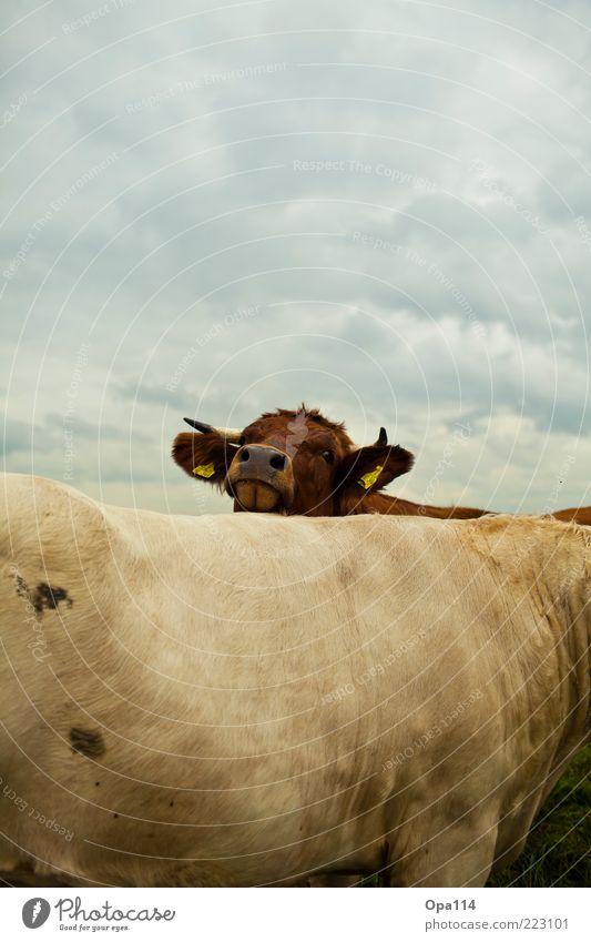 Suchst du mich? Umwelt Natur Landschaft Luft Himmel Wolken Gewitterwolken schlechtes Wetter Wiese Tier Nutztier Kuh 2 Tiergruppe Herde Tierpaar Tierfamilie