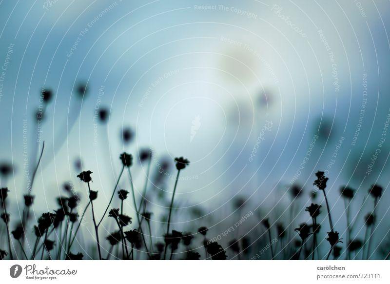 Resteverwertung Natur Pflanze Blume blau schwarz verblüht Blütenstiel Gras alt verdorrt Vergänglichkeit Farbfoto Gedeckte Farben Detailaufnahme Menschenleer