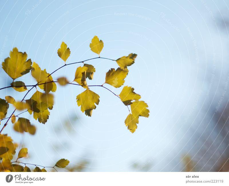 Herbstfoto Natur Himmel Wolkenloser Himmel Blatt Ast verblüht blau grün Hoffnung Sehnsucht Herbstlaub herbstlich filigran Oktober hängend Wandel & Veränderung