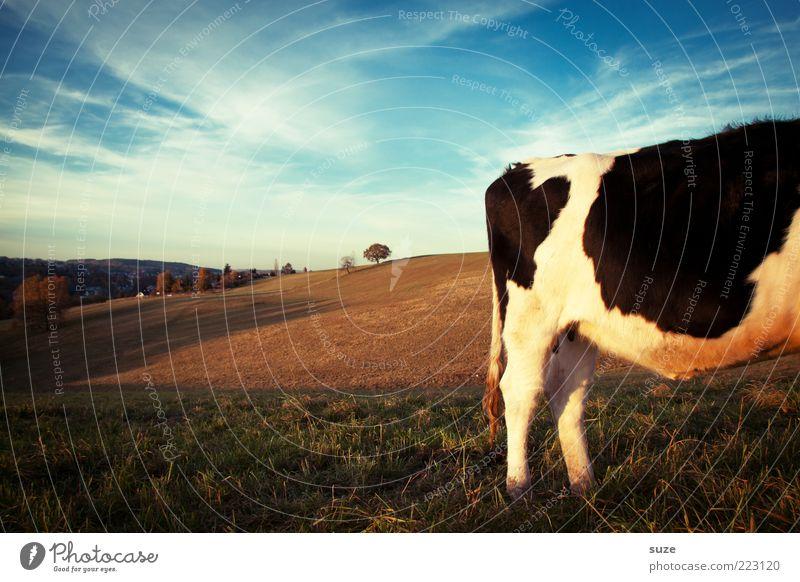 Kuhende Ruh Himmel Natur Tier Ferne Wiese Horizont Feld authentisch stehen Schönes Wetter Weide Hinterteil tierisch ländlich Biologische Landwirtschaft