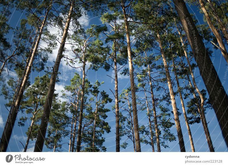 Kiefernwald Himmel Natur schön Baum Wolken ruhig Wald Erholung Leben Umwelt Freiheit Zeit Kraft hoch ästhetisch Wachstum