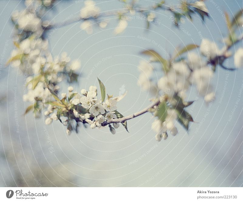 Blütenkette Natur Pflanze Himmel Frühling Schönes Wetter Baum Blatt Kirschbaum Kirschblüten Blühend hängen Wachstum ästhetisch hell schön blau grün weiß