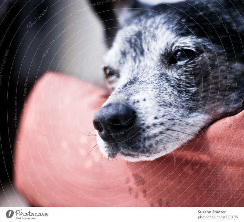 gleich bin ich weg Hund Tiergesicht schlafen Halbschlaf Schnauze alt Pfote Hundekopf mehrfarbig Nahaufnahme Textfreiraum links Schwache Tiefenschärfe