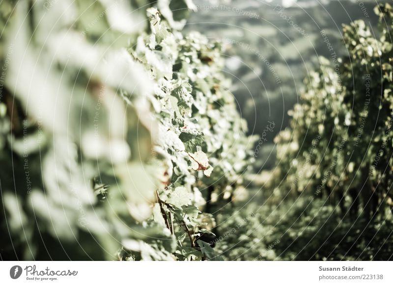 Scheurebe Pflanze Sträucher Weinberg Weinbau Herbst Gedeckte Farben Tag Licht Schatten