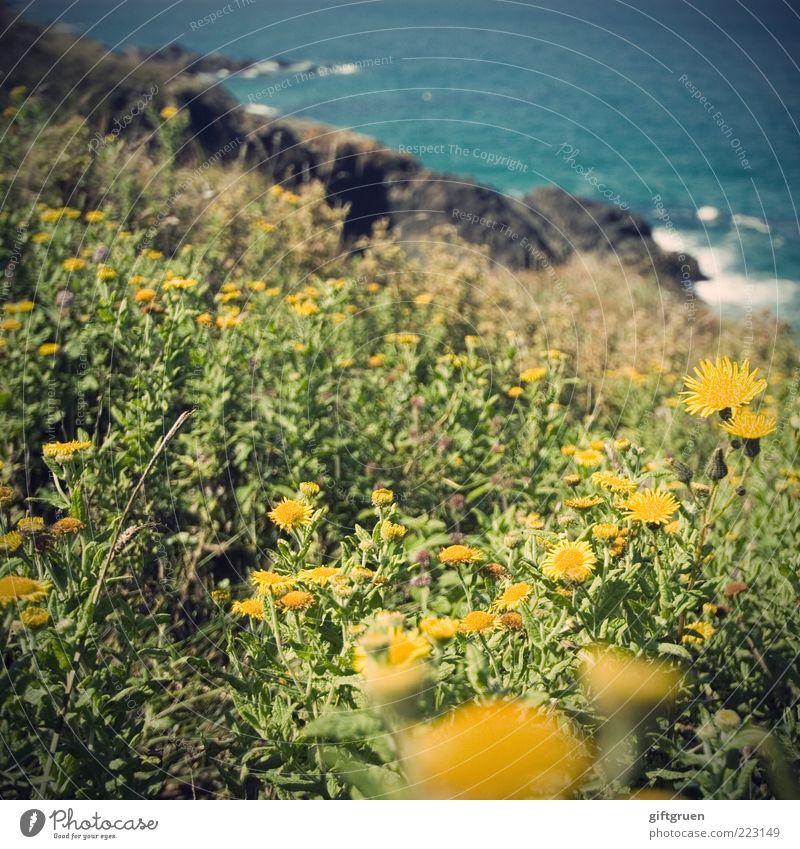 sommer am meer Umwelt Natur Landschaft Urelemente Wasser Sommer Schönes Wetter Pflanze Blume Blatt Blüte Wildpflanze Wiese Wellen Küste Bucht Meer Wachstum gelb