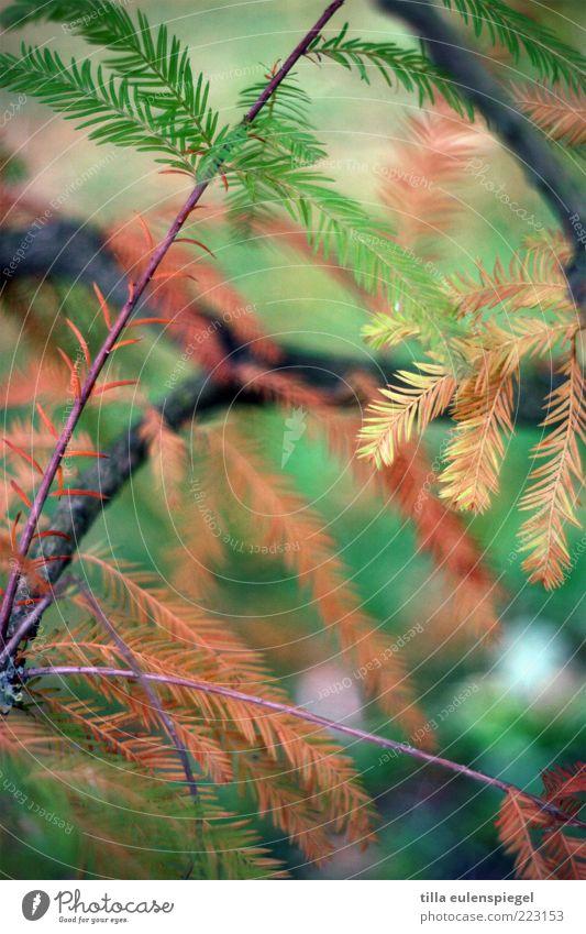 ,,, Natur Baum dehydrieren braun grün Umwelt Vergänglichkeit Nadelbaum Zweig Farbfoto Außenaufnahme Schwache Tiefenschärfe Nahaufnahme Menschenleer trocken