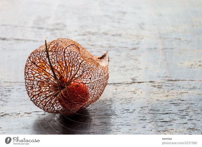 filigrane Hülle Herbst Blüte Physalis Lampionblume Holz braun orange Vergänglichkeit Frucht Fruchthülle sensibel Maserung Physalis alkekengi Farbfoto