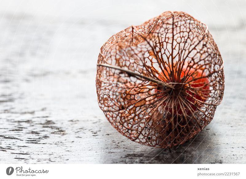 skelettartige Kelchblätter weiß Herbst Holz braun orange Dekoration & Verzierung verschönern Fruchtstand zierlich dehydrieren Physalis Kelchblatt Lampionblume