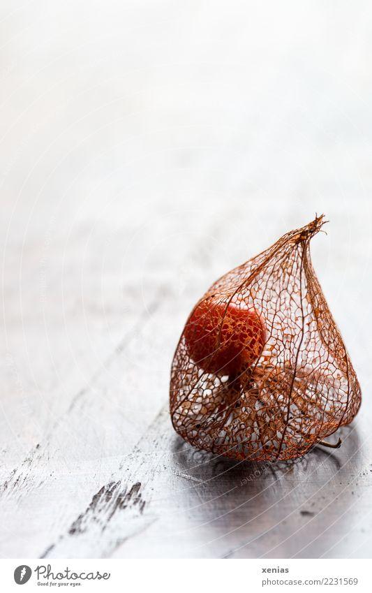 Physalis mit Fruchthülle Herbst Lampionblume Fruchtstand Holz hell trocken braun orange weiß filigran eingeschlossen Nachtschattengewächse Farbfoto