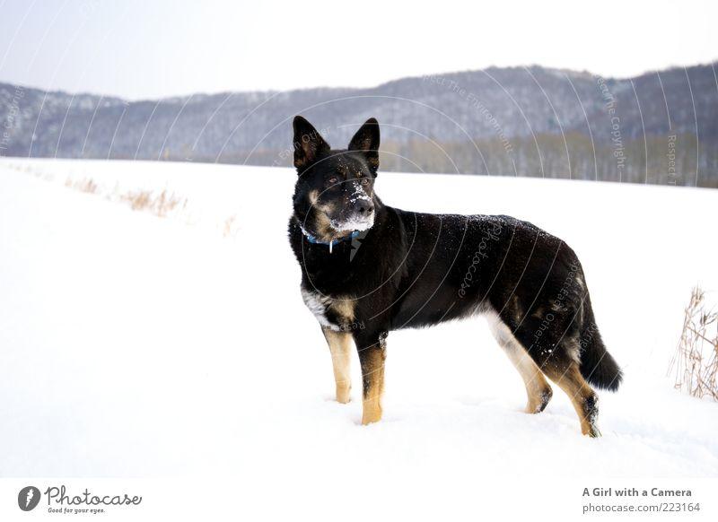 Snow Dog Hund Natur weiß Tier Winter Wolken schwarz Ferne Umwelt Landschaft Schnee Spielen Eis Kraft elegant Macht