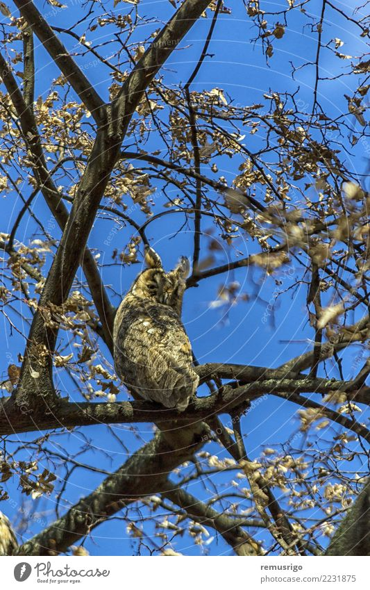 Natur Baum Tier Wald Vogel sitzen Feder Schnabel Rumänien Waldohreule