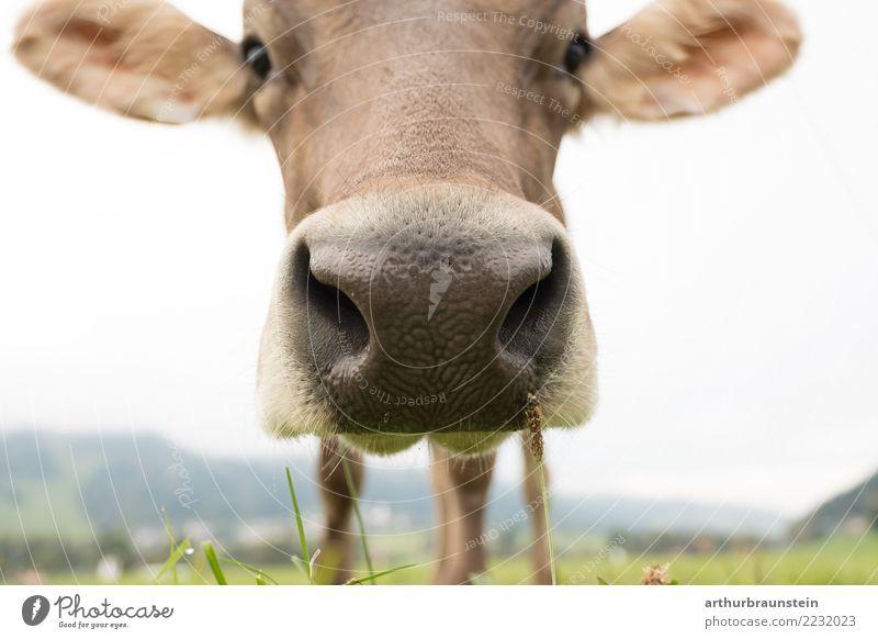 Neugierige Kuh auf der Weide Lebensmittel Fleisch Ernährung Gesunde Ernährung Ferien & Urlaub & Reisen Tourismus Sommer Arbeit & Erwerbstätigkeit Beruf Landwirt