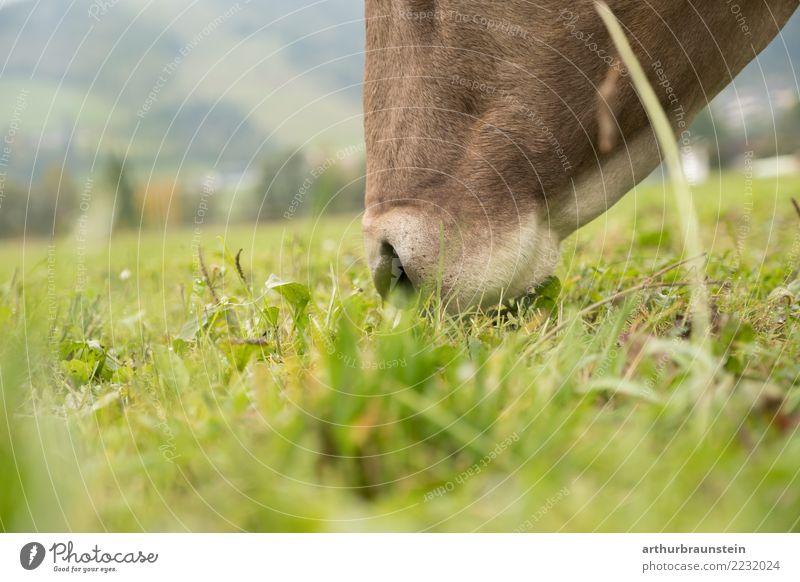 Kuh grast in der Wiese Natur Ferien & Urlaub & Reisen Sommer Gesunde Ernährung grün Tier Essen Umwelt Gesundheit natürlich Gras Lebensmittel Zufriedenheit Feld
