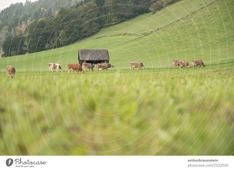 Kühe auf der Weide Lebensmittel Fleisch Ernährung Ferien & Urlaub & Reisen Tourismus Arbeit & Erwerbstätigkeit Beruf Landwirt Wirtschaft Landwirtschaft