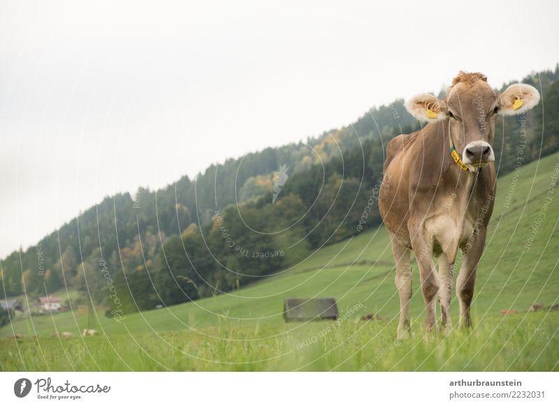 Kuh steht auf der Weide Lebensmittel Fleisch Ernährung Bioprodukte Gesunde Ernährung Ferien & Urlaub & Reisen Tourismus Landwirt Wirtschaft Landwirtschaft