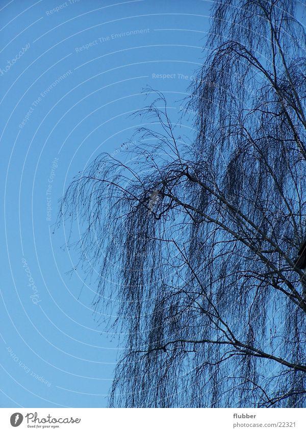 trauerweide Himmel Baum blau Winter Ast Baumkrone Trauerweide