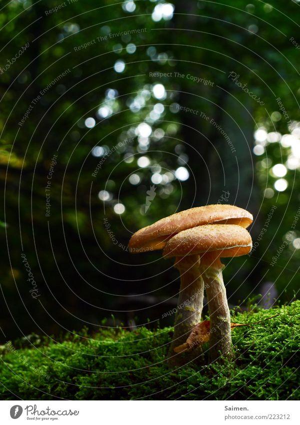 hallim-arsch Natur Baum grün Wald Herbst Gras Umwelt braun klein Wachstum Boden rund natürlich Schutz Stengel lecker