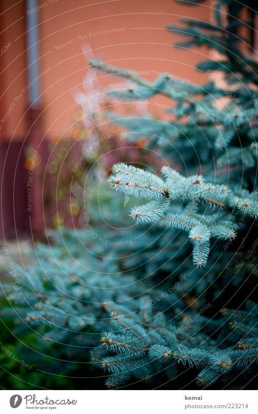 Zum Schmücken freigegeben Umwelt Natur Landschaft Pflanze Winter Baum Grünpflanze Wildpflanze Tanne Blautanne Tannenzweig Tannennadel Garten Park Wachstum blau