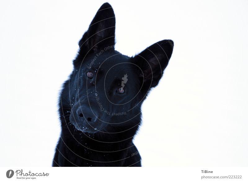 Calina Haustier Hund 1 Tier authentisch frei Freundlichkeit natürlich schwarz weiß Zufriedenheit Vertrauen Farbfoto Außenaufnahme Textfreiraum rechts Tag