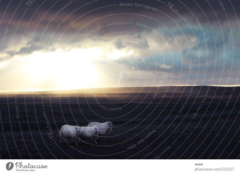 *1.000* Caspar, Melchior & Balthasar Himmel Natur Himmel (Jenseits) Tier Wolken Landschaft Ferne Wiese klein außergewöhnlich wild laufen leuchten Tiergruppe