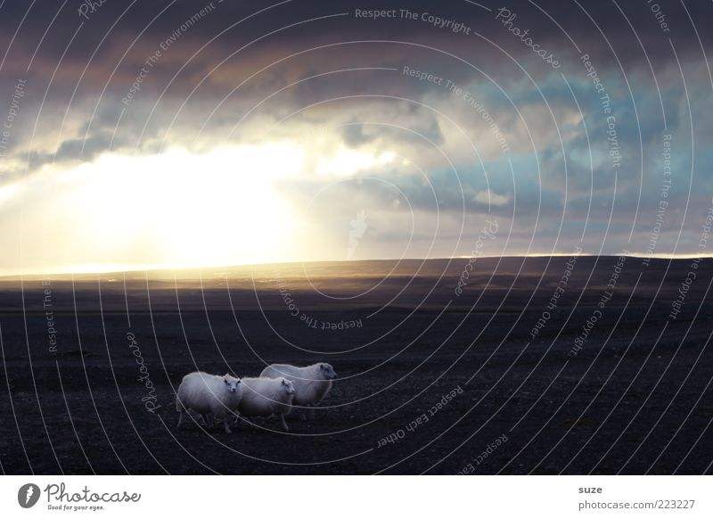 *1.000* Caspar, Melchior & Balthasar Natur Landschaft Tier Himmel Wolken Nutztier Schaf 3 Tiergruppe laufen leuchten außergewöhnlich fantastisch klein wild